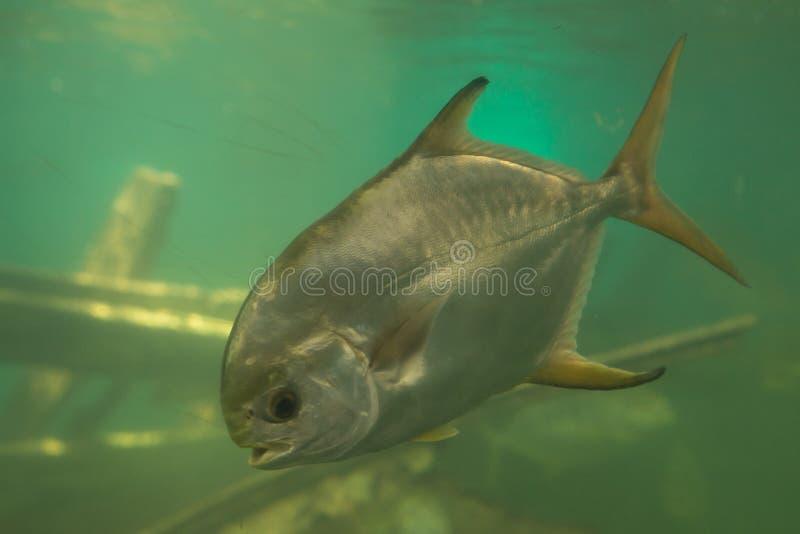 Red piranha Serrasalmus nattereri swimming underwater, piranha. Red piranha Serrasalmus nattereri swimming underwater in troubled waters stock images