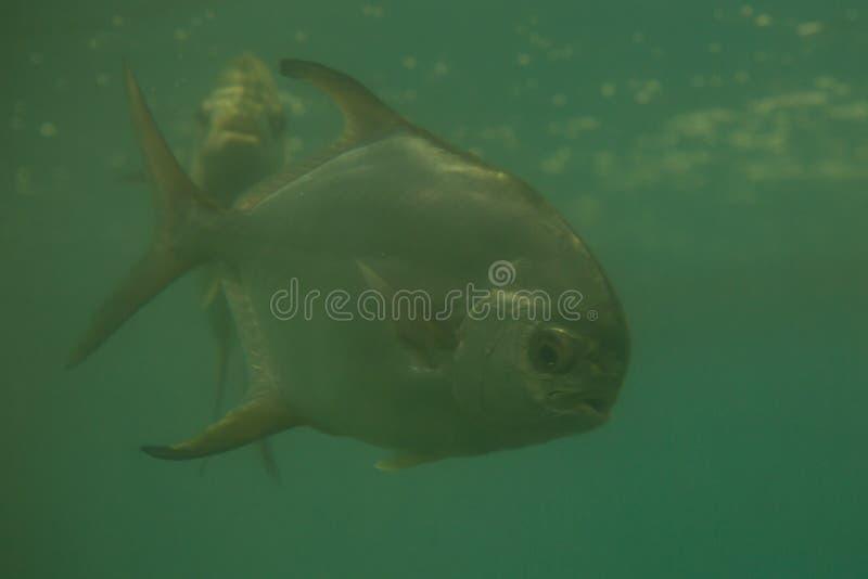 Red piranha Serrasalmus nattereri swimming underwater, piranha. Red piranha Serrasalmus nattereri swimming underwater in troubled waters stock image