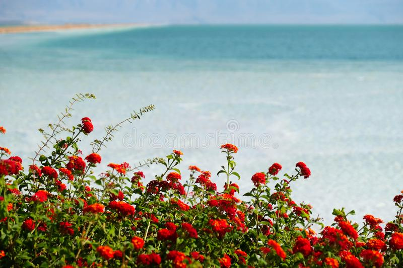 Red plants flowering at Dead Sea. Red flowers blossom on Dead Sea background, Israel stock photo