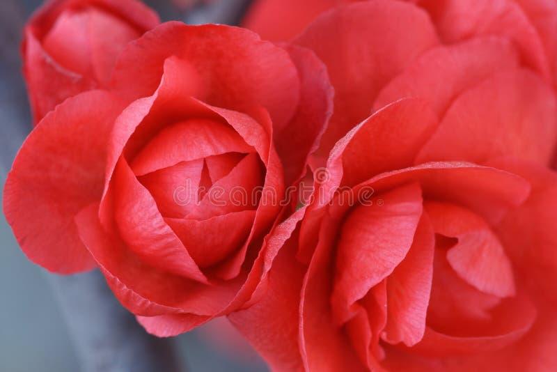 Download Red plum blossom stock image. Image of blossom, elegance - 23057111
