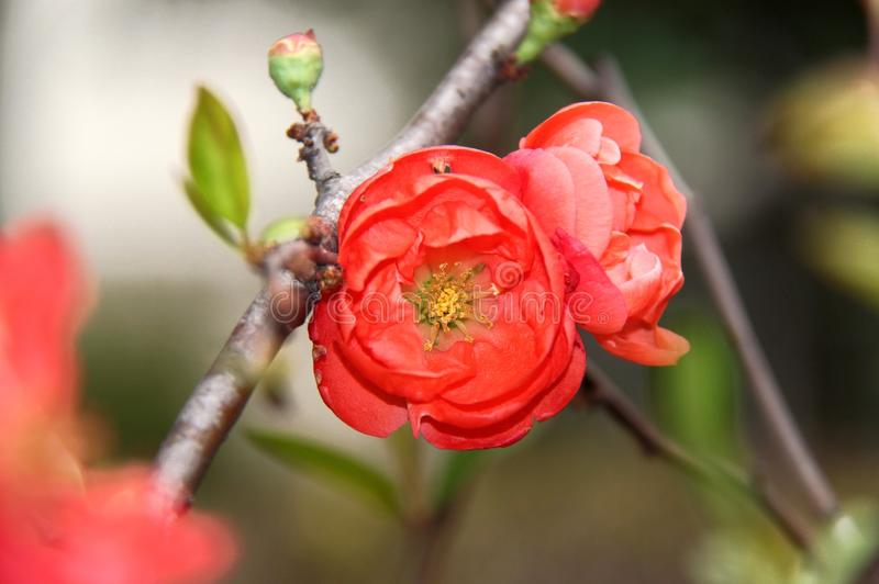 Download Red Plum Blossom Royalty Free Stock Images - Image: 25266549