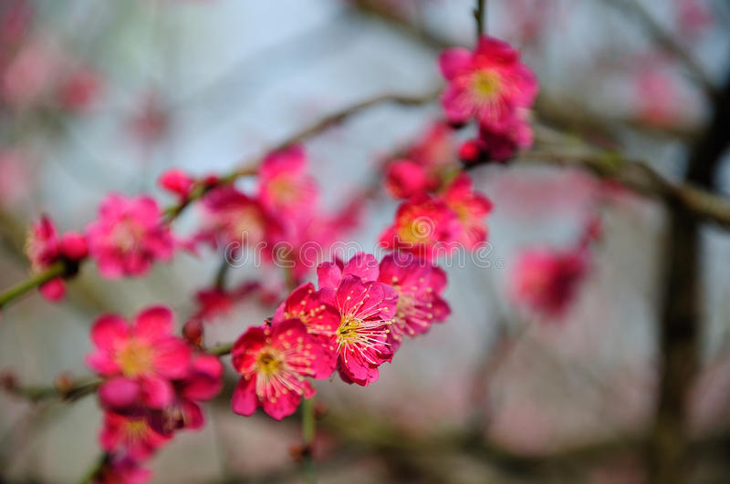 Red plum blossom royalty free stock photos