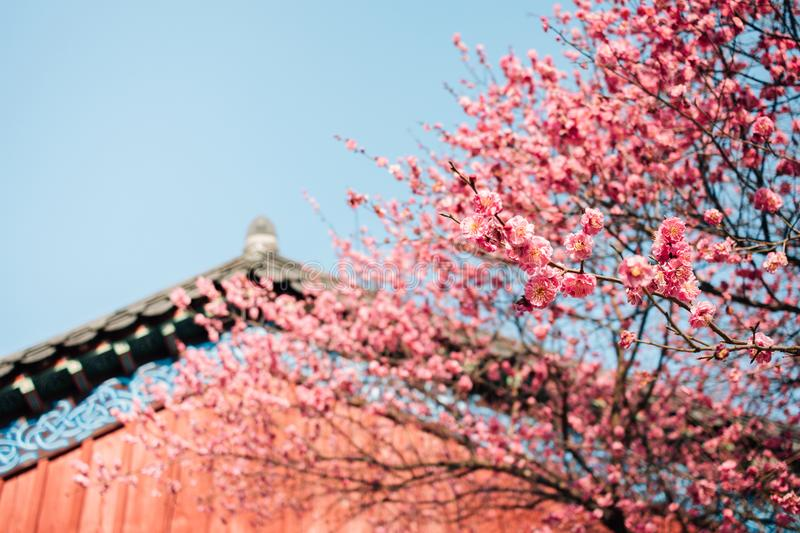 Bongeunsa temple, Korean traditional architecture with red plum blossom in Seoul, Korea. Asia stock image