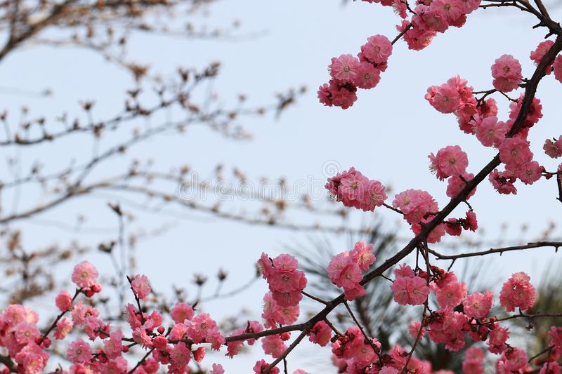 Red plum blossom. Red plum flower is a kind of plum flower. This kind of plant can be used in garden, green space, garden and scenic area. It can be planted stock image