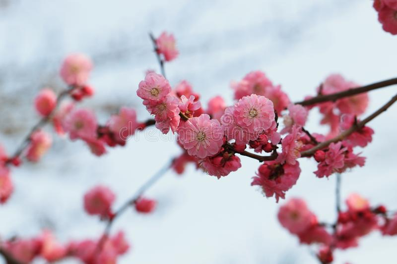 Red plum blossom. Red plum flower is a kind of plum flower. This kind of plant can be used in garden, green space, garden and scenic area. It can be planted royalty free stock image