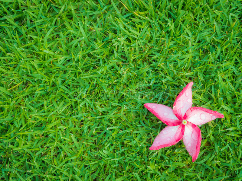 Red Plumeria Flower with Dew on Grassland stock photos