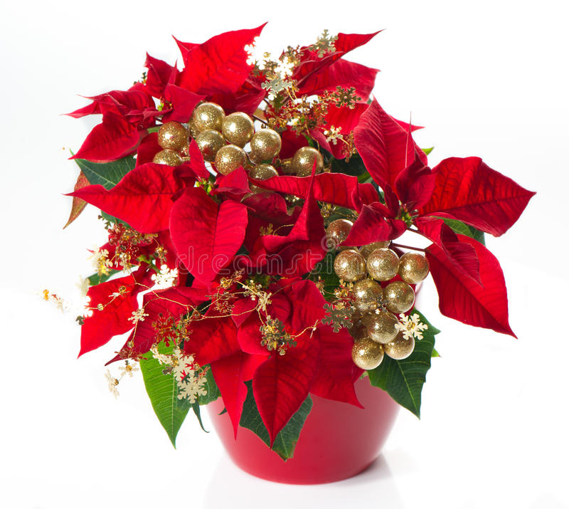 Red poinsettia. christmas flower with golden deco. Ration on white background stock photos