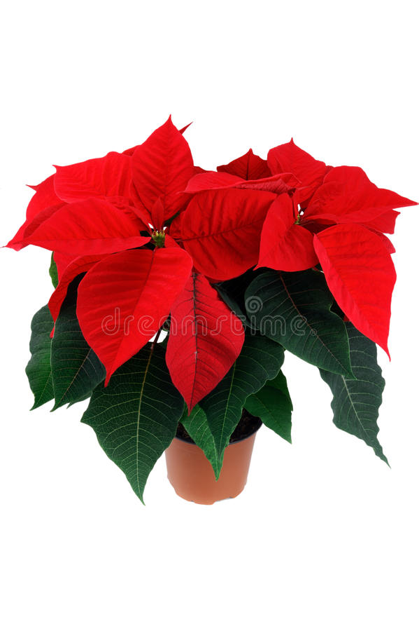 Red poinsettia flower. In flowerpot on white background with clipping path stock images
