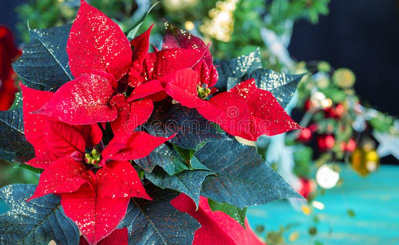 Red poinsettia flower. Festive poinsettia flowers against Christmas decoration stock image