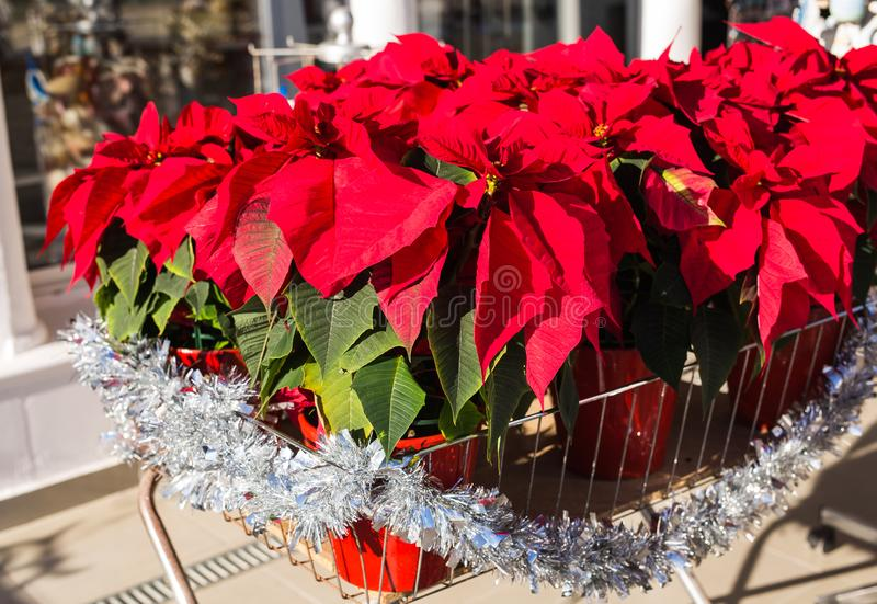 Red poinsettia flower in pot, traditional Christmas decoration. Red poinsettia flower, traditional Christmas decoration stock images