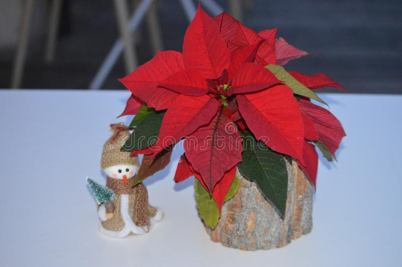 Red poinsettia in flower wooden  bark pot and a snowman royalty free stock image