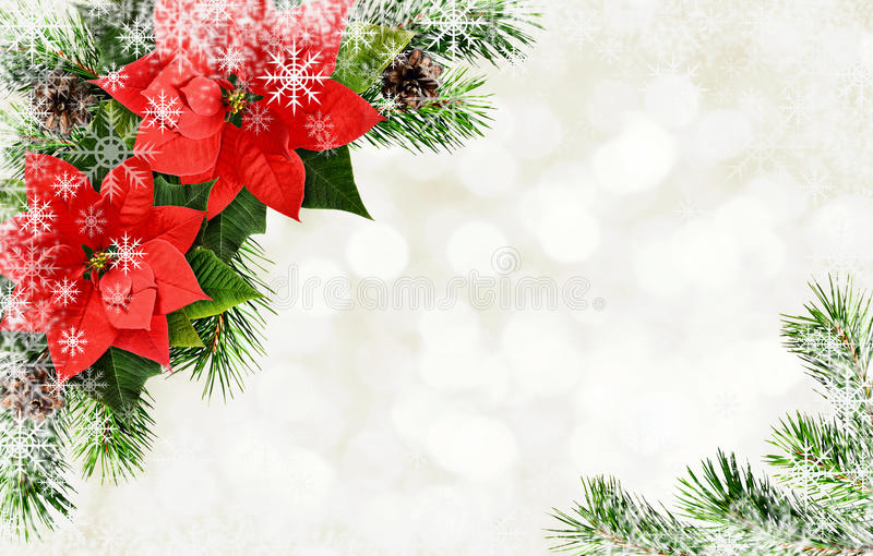 Red poinsettia flowers and Christmas tree branches arrangement. Red poinsettia flowers and Christmas tree branches corner arrangement on white holiday background stock photos