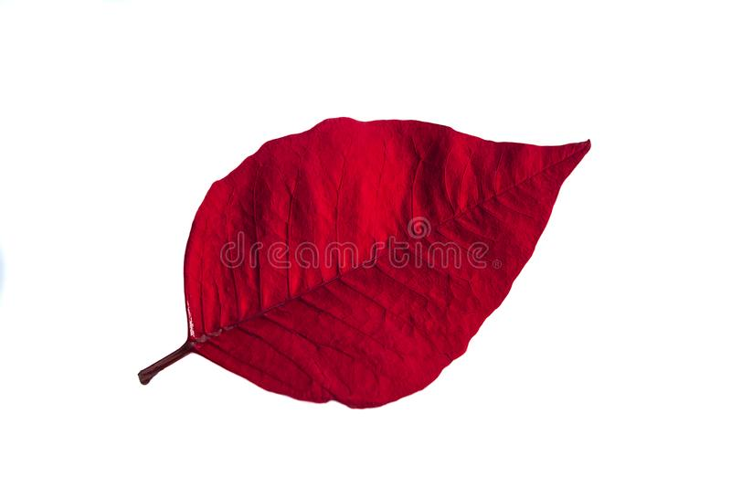 Red poinsettia petal. Red poinsettia leaf isolated on a white background royalty free stock image