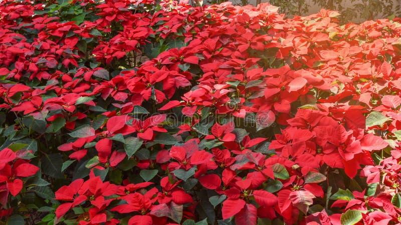 Red poinsettias Christmas flower stock image