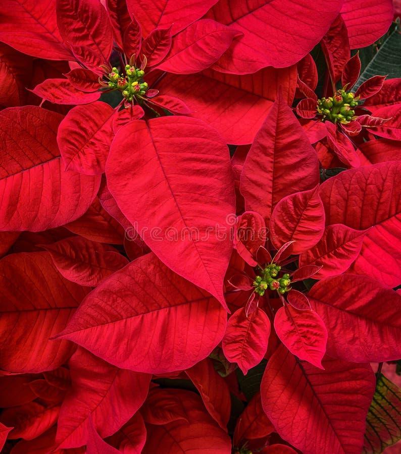 Red Poinsettias flower, Christmas Star stock photography