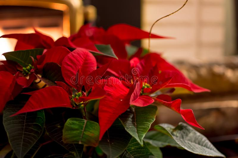 Red poinsettias home decoration next to fireplace in cozy holiday home Christmas card royalty free stock photography