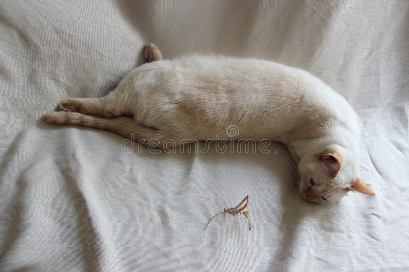Red Point Cat stock photography