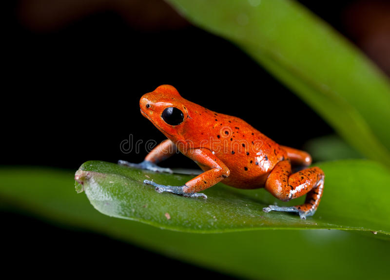 Download Red poison dart frog stock photo. Image of oophaga, jungle - 26137204