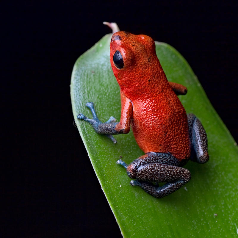 Red poison dart frog Costa Rica jungle royalty free stock images