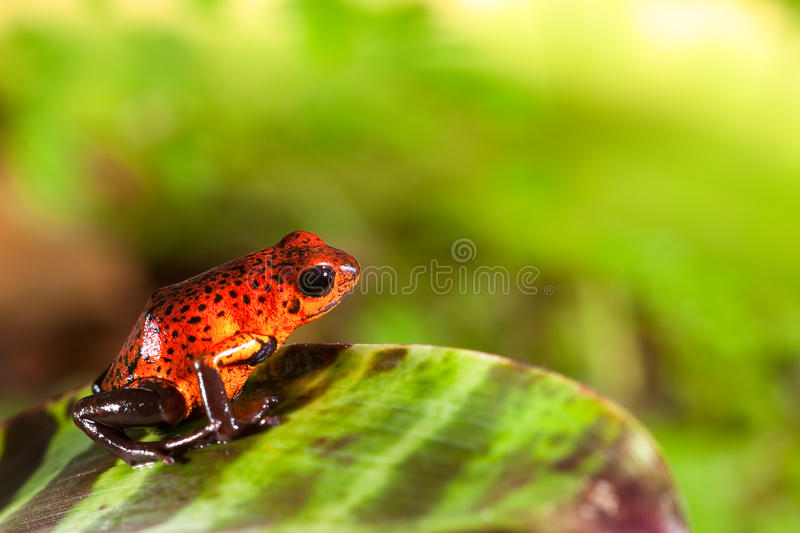 Red poison dart frog in tropical rain forest