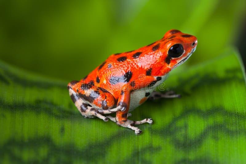 Download Red poison frog stock image. Image of poison, endangered - 28126517
