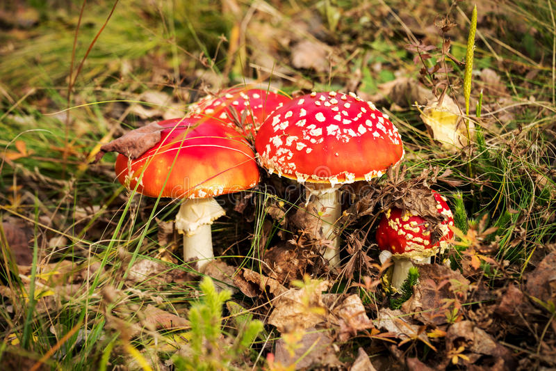 Red poisonous mushrooms, fly agaric or amanita muscaria royalty free stock images