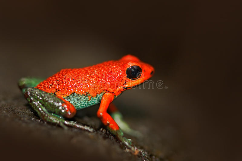 Red poisson frog Granular poison arrow frog, Dendrobates granuliferus, in the nature habitat, Costa Rica. Rare Amphibien in the tr. Opic forest royalty free stock images