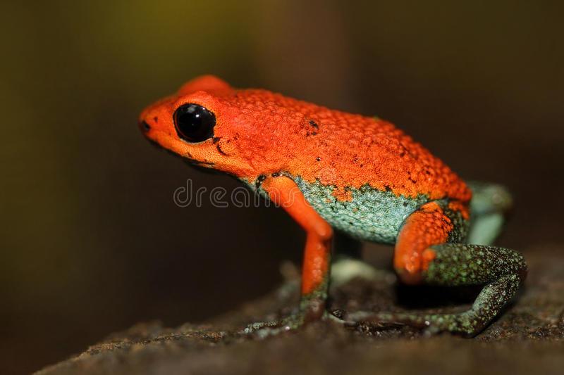 Red Poisson frog Granular poison arrow frog, Dendrobates granuliferus, in the nature habitat, Costa Rica. Rare Amphibien in the tr. Opic forest habitat stock photography