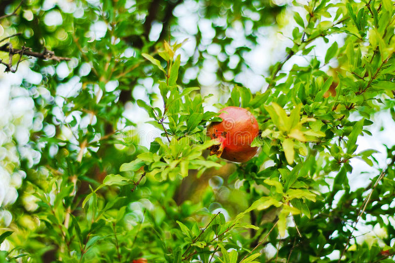 Red pomegranate hanging on a tree royalty free stock photography