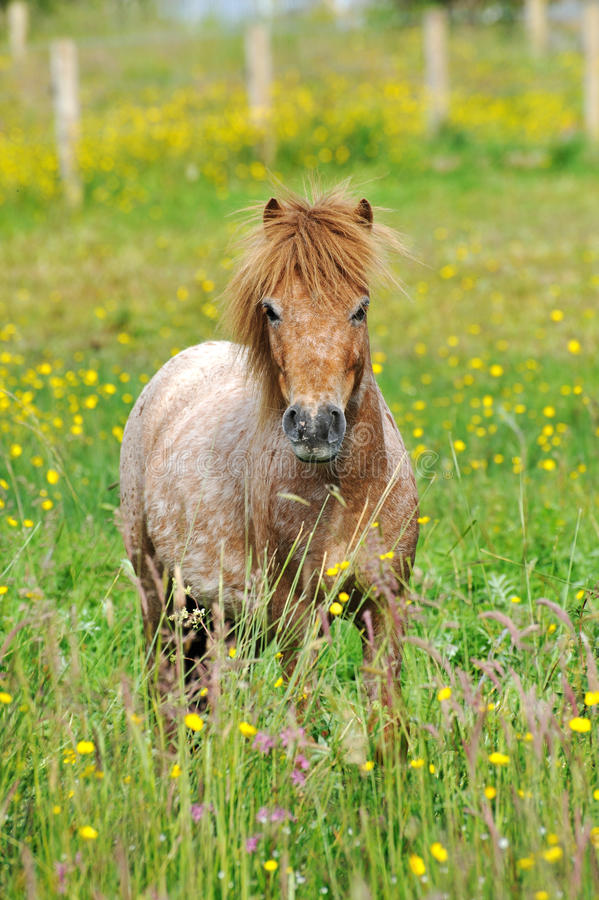 Download Red Pony In A Summer Meadow Stock Photo - Image of graze, flowers: 20032330