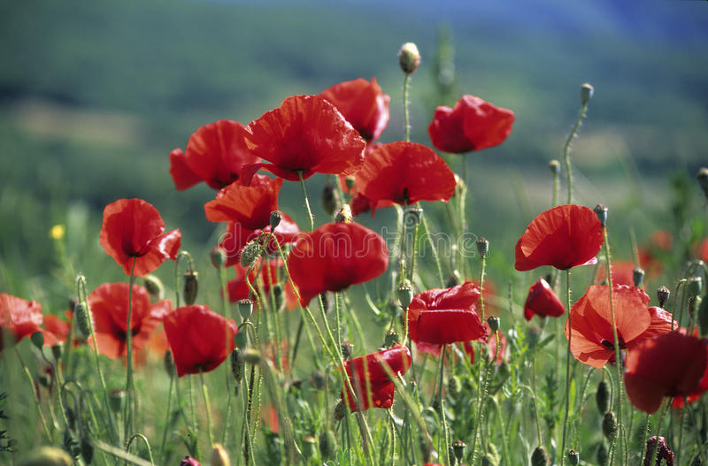 Red poppies stock image