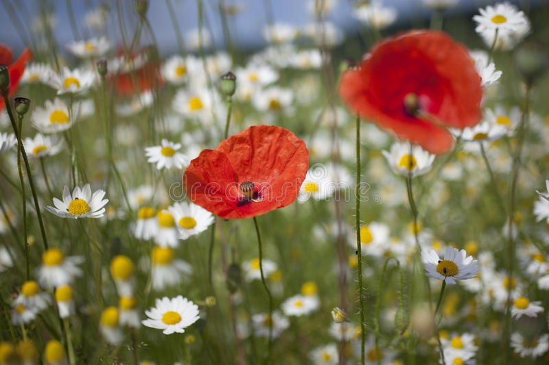 Red Poppies. Papaver Commutatum Lady Bird in the field stock images