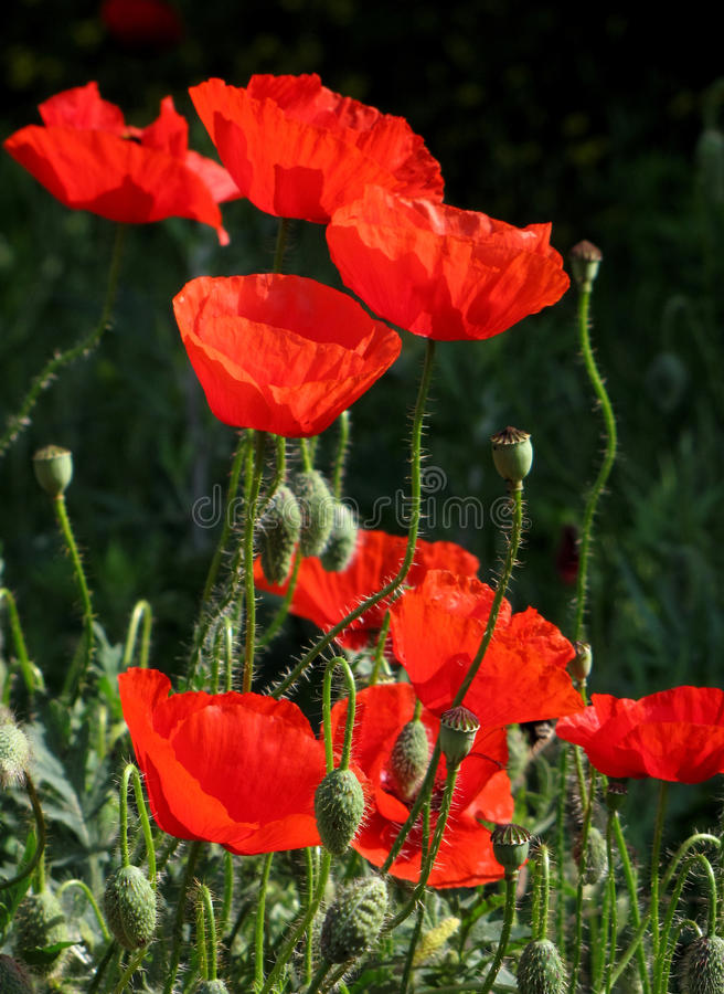 Download Red poppies stock image. Image of beautiful, fragility - 16452509
