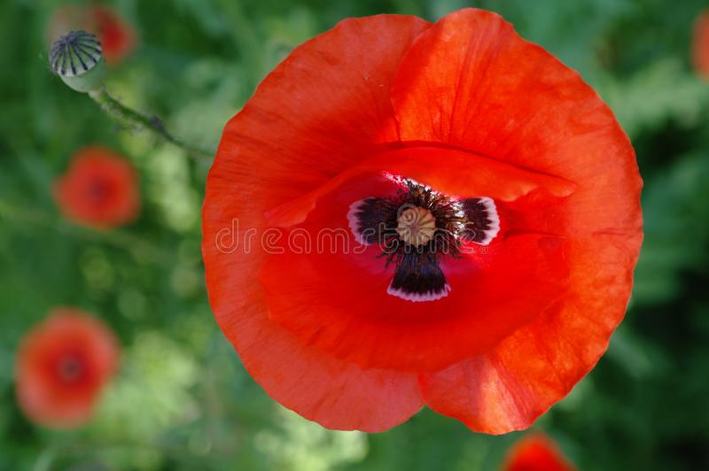 Red poppies.2 royalty free stock images
