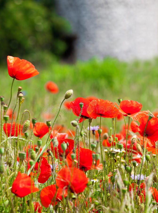 Free Red Poppies Royalty Free Stock Photo - 25434015