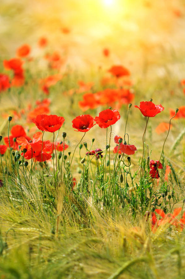 Download Red poppies stock photo. Image of colourful, garden, poppy - 26911516