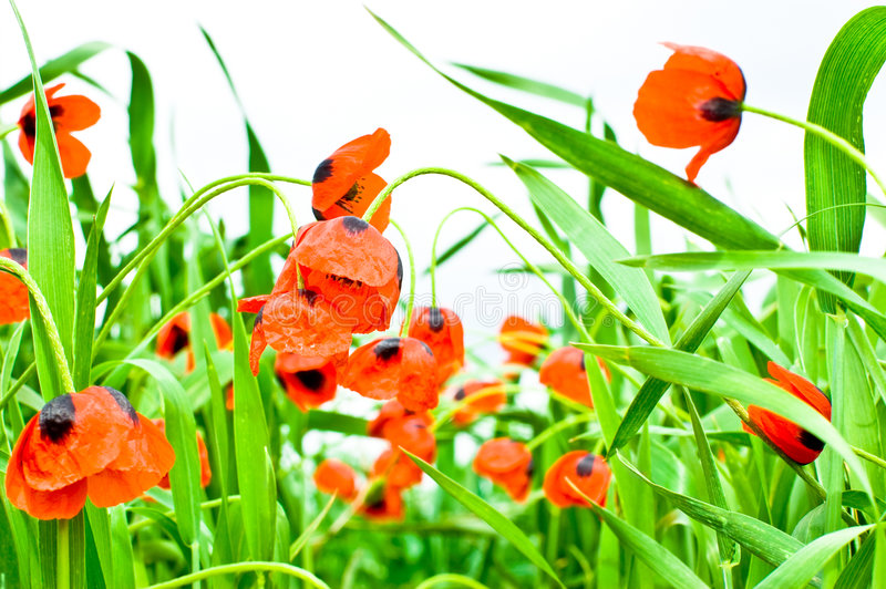 Red poppies. On white background royalty free stock photo