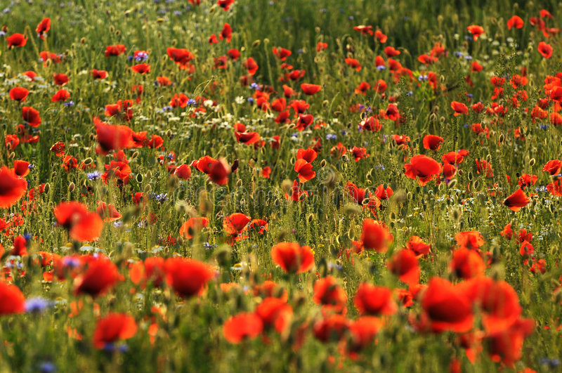 Red Poppies. A field of red poppies in warm light stock photos