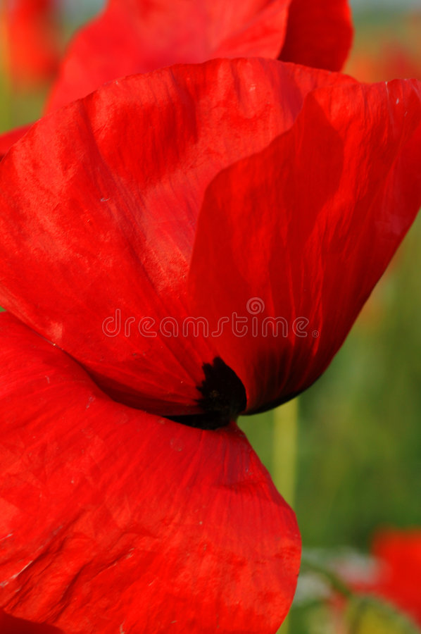 Red poppies. Close up image of red poppies in the field royalty free stock images
