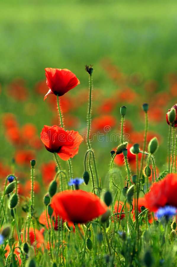 Red poppies. In a field stock photos