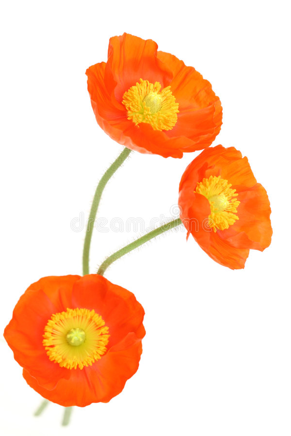 Red poppies stock images