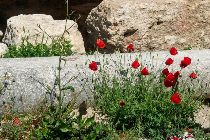 Red poppies on the background of ancient ruins in summer stock photos