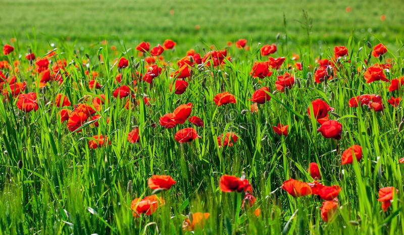 Field with the blossoming red poppies royalty free stock photography