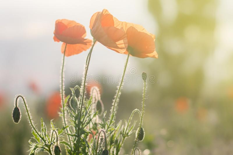 Red poppies bloom in the field lit by bright rays.  stock images