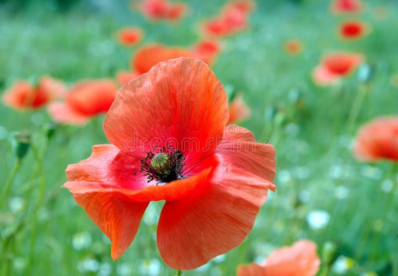 Red poppies blooming on the field. Close up stock photos