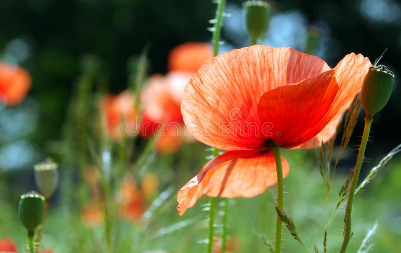 Red poppies blooming on the field. close up. Red poppies blooming on the field stock photos