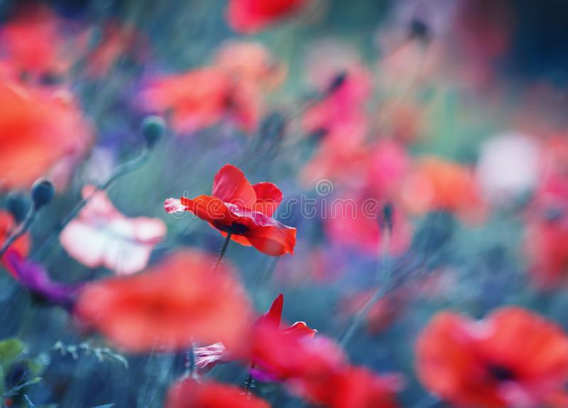 Red poppies blossomed on a summer field on a warm summer fairy-tale day. Bright red poppies blossomed on a summer field on a warm summer fairy-tale day royalty free stock image