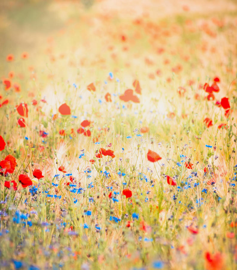 Red poppies and blue cornflowers on a background of bright colorful field. stock photo