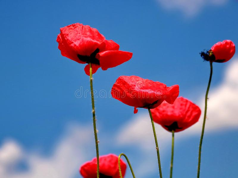 Red poppies and blue sky. Beautiful field of red poppies stock photo