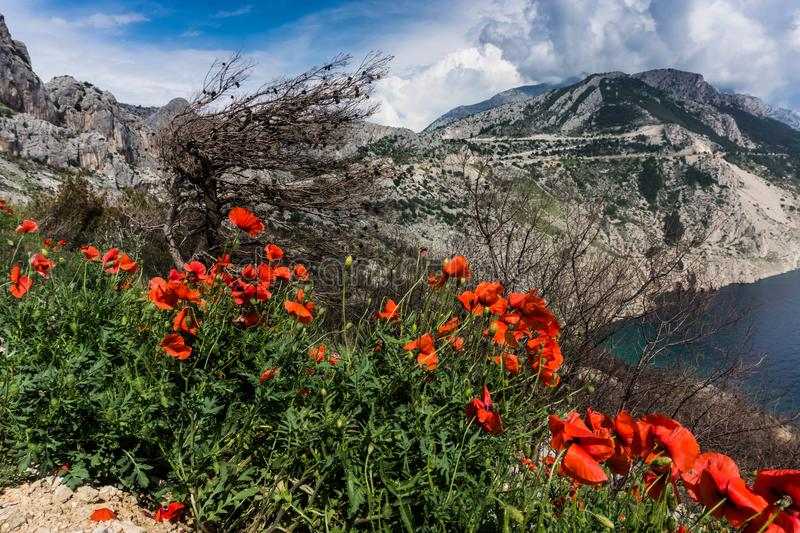 Red Poppies Beside a Body of Water Under Blue and White Cloudy Sky stock photography